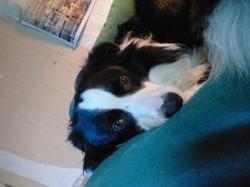 Tommy, chien Border Collie