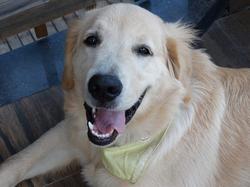 Tommy, chien Golden Retriever