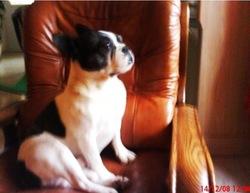 Tomy, chien Bouledogue français