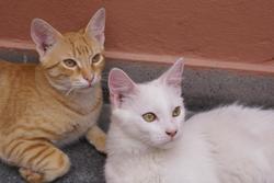 Tomy, chat Angora turc