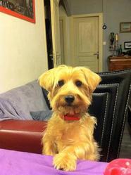 Tomy, chien Yorkshire Terrier