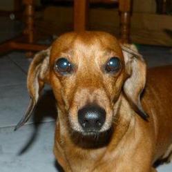 Tomy, chien Teckel
