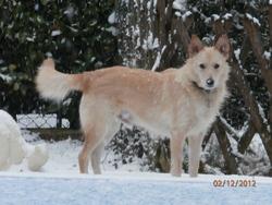 Tomy, chien Podenco portugais