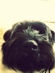 Tomy, chien Schnauzer
