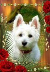 Tomy, chien West Highland White Terrier