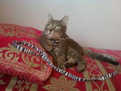 Tomy, chat Européen