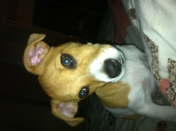 Tomy, chien Jack Russell Terrier