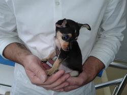 Toni, chien Pinscher