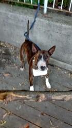Tonka, chien Bull Terrier