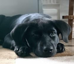 Tonnerre, chiot Labrador Retriever