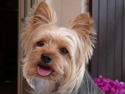Tonus, chien Yorkshire Terrier
