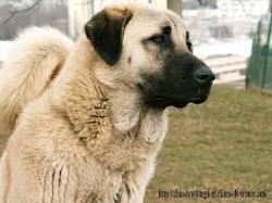 Tony, chien Berger d'Anatolie