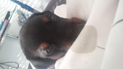 Tony, chien Dobermann