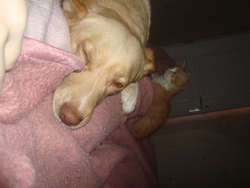 Toon , chien Husky sibérien