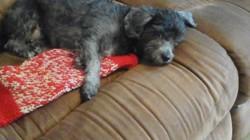 Tootsie, chien Lhassa Apso