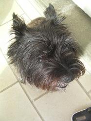 Tootsie, chien Cairn Terrier