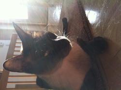 Tootsie, chat Siamois