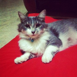Topaz, chat Maine Coon