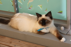Topaze, chat Birman