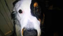 Topaze, chien Berger australien