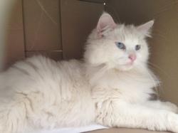 Topaze, chat Gouttière