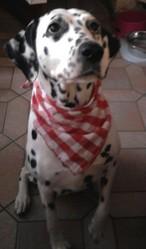 Topaze De Sud Espérence, chien Dalmatien