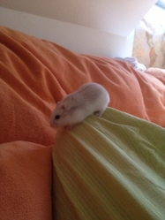 Topla, rongeur Hamster