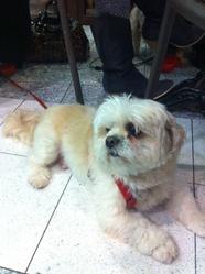 Topy, chien Shih Tzu