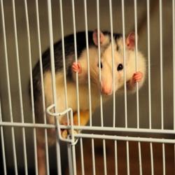 Tordu, rongeur Rat