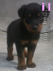 Torky, chien Rottweiler
