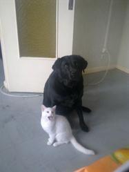 Tornade, chien Labrador Retriever