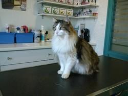 Tornade, chat Norvégien