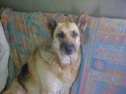 Tornade, chien Berger allemand