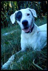 Tornade, chien Dogue argentin