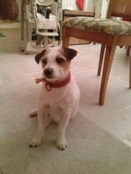 Tornade, chien Jack Russell Terrier