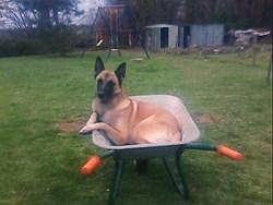 Torou , chien Berger belge