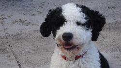 Tosca, chien Chien d'eau portugais