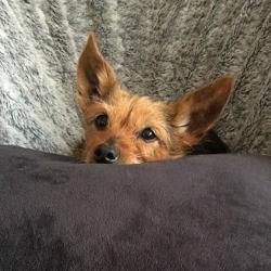 Tosca, chien