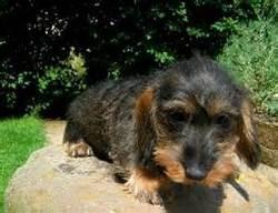 Tosca, chien Teckel