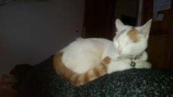 Tosca, chat Européen