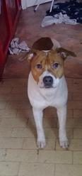 Toscane, chien American Staffordshire Terrier