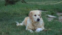 Toscane, chien Golden Retriever