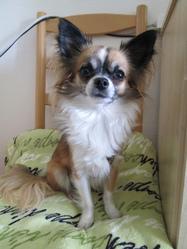 Toscane, chien Chihuahua