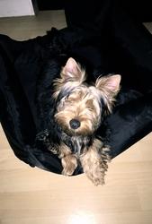 Tosh, chien Silky Terrier