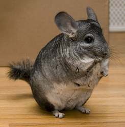 Toti, rongeur Chinchilla