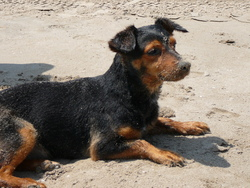 Toto, chien Chien courant espagnol