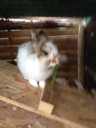 Toto , rongeur Lapin