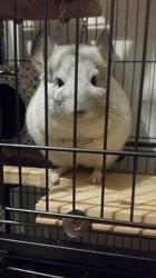 Totoro, rongeur Chinchilla