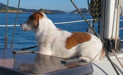 Totti, chien Parson Russell Terrier
