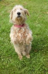 Touffu, chien Basset fauve de Bretagne